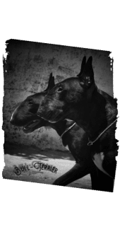 cover Bull-Terrier Black/White