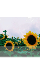 cover Sunflowers vibe